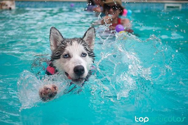 Perro Husky siberiano nadando en piscina.