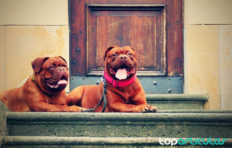 Dogos de Burdeos con collar