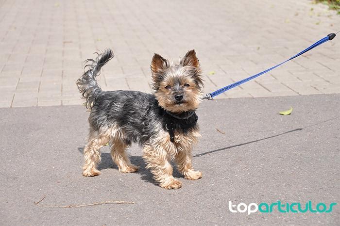 Señora con mascarilla paseando perro raza Yorkshire Terrier.