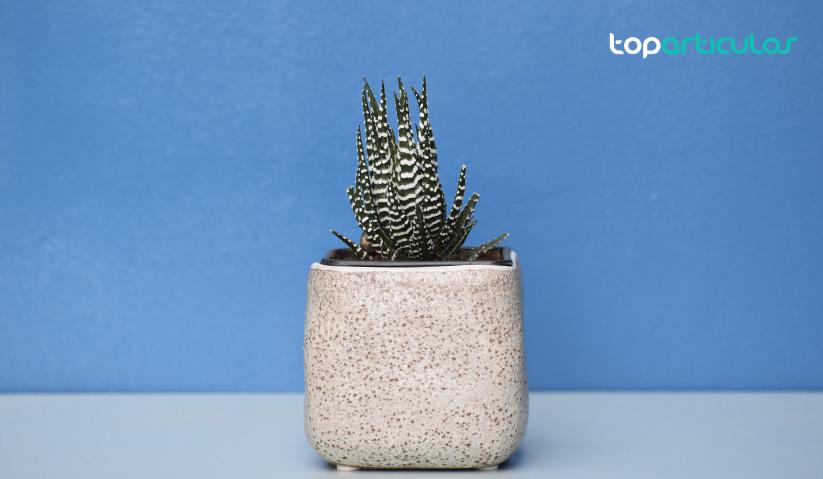 plantas suculentas, ideales para interior