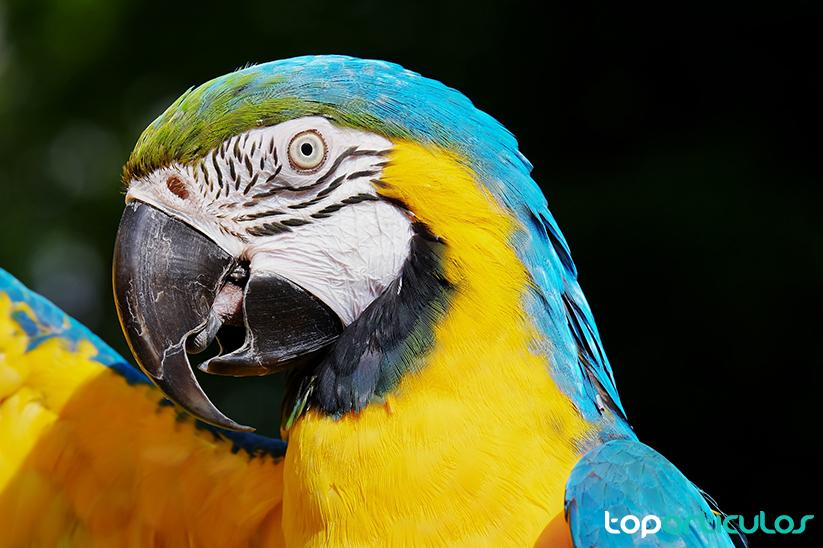 Loro guacamayo del Amazonas
